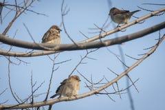 Tre piccoli passeri sui cavi elettrici Fotografie Stock Libere da Diritti