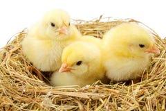 Tre piccoli polli gialli nel nido del fieno Fotografie Stock
