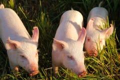 Tre piccoli porcellini Fotografie Stock