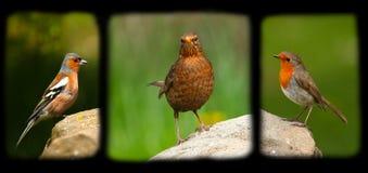 Tre piccoli uccelli Immagini Stock