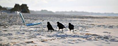 Tre piccoli uccelli neri Fotografia Stock Libera da Diritti