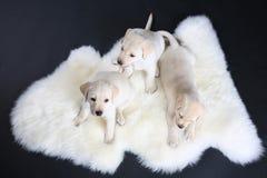 Tre piccolo cucciolo labrador Fotografia Stock Libera da Diritti