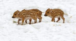 Tre piglets Arkivfoto