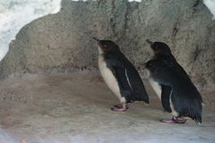 Tre pinguini in caverna Immagine Stock