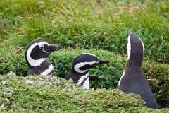 Tre pinguini magellanic Fotografie Stock