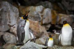 Tre pinguini sulle rocce Fotografie Stock Libere da Diritti