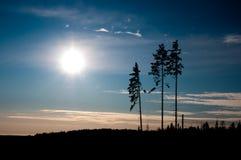 Tre pini ed il sole Immagine Stock