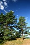 Tre pino-albero (proprietà terriera del â Mihailovskoe di Pushkin) immagini stock libere da diritti