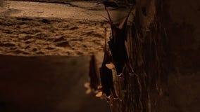 Tre pipistrelli che appendono su una parete video d archivio