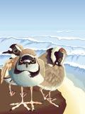 Tre pivieri svegli vicino alla spiaggia fotografia stock libera da diritti