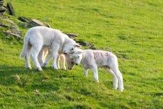 Tre playings degli agnelli fotografia stock libera da diritti