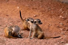 Tre poco suricate godono della tonalità di pomeriggio Immagini Stock Libere da Diritti