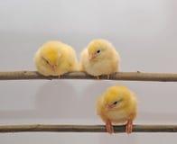 Tre polli Immagine Stock