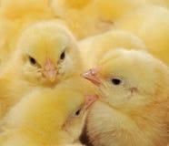 Tre polli gialli Fotografia Stock