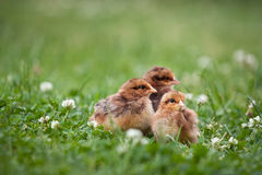 Tre polli marroni svegli su erba Fotografia Stock Libera da Diritti