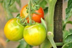 Tre pomodori Fotografia Stock Libera da Diritti