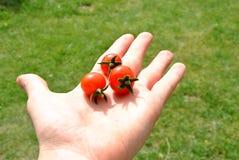 Tre pomodori Immagini Stock