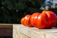 Tre pomodori rossi e bianchi maturi fotografie stock libere da diritti