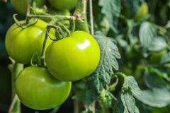 Tre pomodori verdi crudi Immagine Stock Libera da Diritti