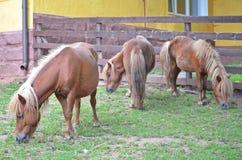 Tre ponnies Royaltyfri Bild