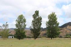 Tre poppelträd Royaltyfria Bilder