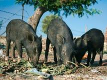 Tre porcellini neri stanno mangiando all'esterno Fotografie Stock