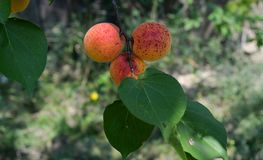 Tre prickiga aprikors i ett träd Arkivfoto