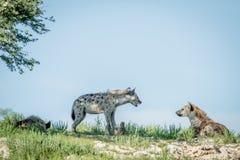 Tre prickiga hyenor på en kant Arkivfoton