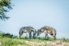 Tre prickiga hyenor på en kant Arkivbild
