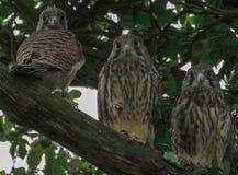 Tre principianti del gheppio che vi guardano Immagine Stock Libera da Diritti