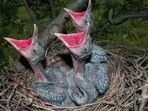 Tre pulcini affamati in nido fotografia stock libera da diritti