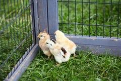 Tre pulcini che scoppiano fuori dalla gabbia Fotografie Stock Libere da Diritti