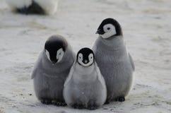 Tre pulcini del pinguino di imperatore Huddled insieme Immagine Stock