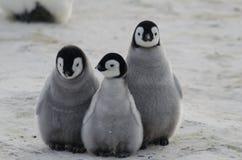 Tre pulcini del pinguino di imperatore Huddled insieme immagini stock libere da diritti