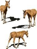 Tre punti di vista del foal con le ombre Immagini Stock Libere da Diritti