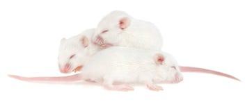 Tre pups bianchi del mouse su priorità bassa bianca Immagini Stock