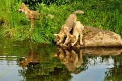 Tre pups di lupo con le riflessioni dell'acqua. Fotografia Stock
