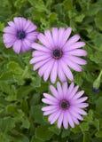 Tre purpura tusenskönablommor Royaltyfri Foto
