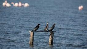 Tre pygmékormoran som står på journal lager videofilmer