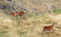Tre röda hjortar Fotografering för Bildbyråer
