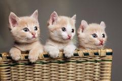 Tre röda kattungar arkivfoto