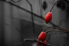 Tre röda lösa rosa bär i mörkret Arkivfoton