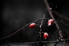 Tre röda lösa rosor med droppar av snö Royaltyfri Fotografi
