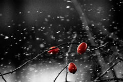 Tre röda lösa rosor på fatta med snö Royaltyfri Bild
