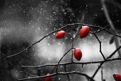 Tre röda lösa rosor på fatta under häftiga snöstormen Royaltyfria Bilder