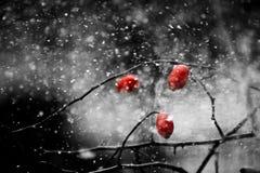 Tre röda lösa rosor på fatta under snöstormen Royaltyfri Fotografi