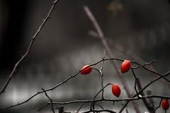 Tre röda lösa rosor på suddighetsbakgrunden Royaltyfria Foton
