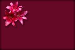 Tre röda liljor för isolat royaltyfria foton
