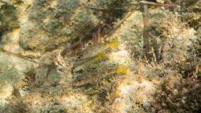 Tre röda multefiskar Arkivbild