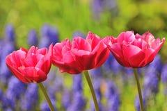 Tre röda tulpan Royaltyfri Fotografi